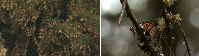 Drzewa łamią się pod ich ciężarem. Motyle zapadły w sen zimowy