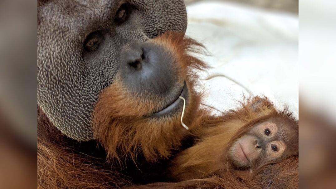 """Orangutan zaopiekował się potomstwem po śmierci matki. """"To niezwykle rzadkie"""""""
