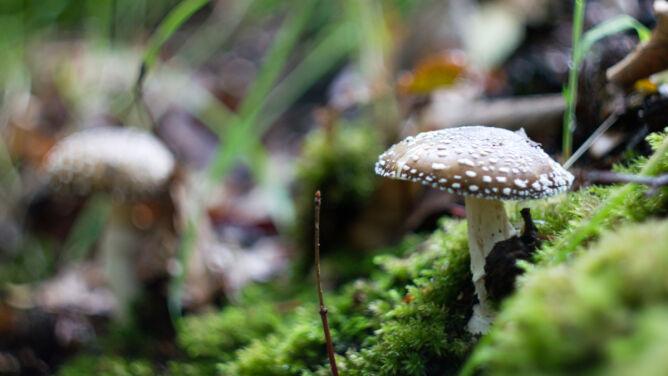 Jak bezpiecznie zbierać grzyby i uniknąć śmiertelnego zatrucia