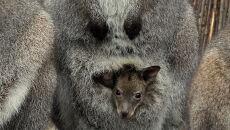 Walabia w torbie matki kangurzycy
