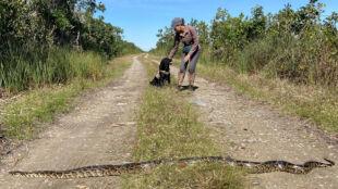 Szkolą psy, by walczyć z inwazją pytonów