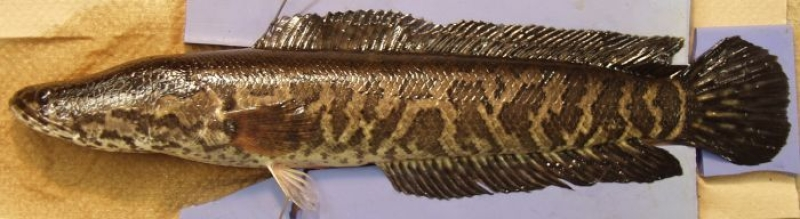 Ryba okoniokształtna Channa argus (USGS, wikipedia)